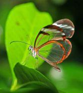 papillon-greta-oto